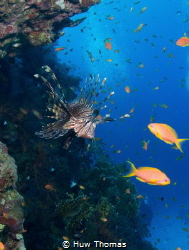 Lionfish in Egypt. Taken with a Nikon D7100. by Huw Thomas